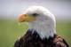 BALD EAGLE, ALBERTA BIRDS OF PREY CENTRE, COALDALE