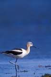 BIR AVO AME  SK  GMM0001721D  VTAMERICAN AVOCETQUILL LAKES                        ..© GARFIELD MACGILLIVRAY  ALL RIGHTS RESERVEDAMERICAN_AVOCET;AVOCETS;BIRDS;PLAINS;PRAIRIES;QUILL_LAKES;SASKATCHEWAN;SK_;VTLLONE PINE PHOTO              (306) 683-0889