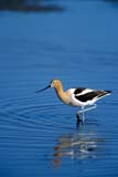 BIR AVO AME  SK  GMM0001803D  VTAMERICAN AVOCET IN WATERQUILL LAKES                       05© GARFIELD MACGILLIVRAY  ALL RIGHTS RESERVEDAMERICAN_AVOCET;AVOCETS;BIRDS;PLAINS;PRAIRIES;QUILL_LAKES;SASKATCHEWAN;SK_;SPRING;VTL;WATERLONE PINE PHOTO              (306) 683-0889