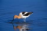 BIR AVO AME  SK  GMM0001800DAMERICAN AVOCET IN WATERQUILL LAKES                       05© GARFIELD MACGILLIVRAY  ALL RIGHTS RESERVEDAMERICAN_AVOCET;AVOCETS;BIRDS;FEEDING;PLAINS;PRAIRIES;QUILL_LAKES;SASKATCHEWAN;SK_;SPRING;WATERLONE PINE PHOTO              (306) 683-0889