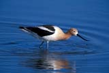 BIR AVO AME  SK  GMM0001801DAMERICAN AVOCET IN WATERQUILL LAKES                       05© GARFIELD MACGILLIVRAY  ALL RIGHTS RESERVEDAMERICAN_AVOCET;AVOCETS;BIRDS;FEEDING;PLAINS;PRAIRIES;QUILL_LAKES;SASKATCHEWAN;SK_;SPRING;WATERLONE PINE PHOTO              (306) 683-0889