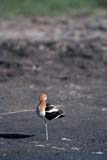 BIR AVO AME  SK  GMM0001805D  VTAMERICAN AVOCET STANDING ON ONE LEGQUILL LAKES                       05© GARFIELD MACGILLIVRAY  ALL RIGHTS RESERVEDAMERICAN_AVOCET;AVOCETS;BIRDS;PLAINS;PRAIRIES;QUILL_LAKES;SASKATCHEWAN;SK_;SPRING;VTLLONE PINE PHOTO              (306) 683-0889