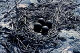 BIR AVO AME  SK  GMM1000650DAMERICAN AVOCET NEST WITH EGGSQUILL LAKES                       05© GARFIELD MACGILLIVRAY  ALL RIGHTS RESERVEDAMERICAN_AVOCET;AVOCETS;BIRDS;EGGS;NESTS;PLAINS;PRAIRIES;QUILL_LAKES;SASKATCHEWAN;SK_;SPRINGLONE PINE PHOTO              (306) 683-0889