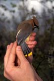 BIR BAN MIS  SK     1602656D  VTMAN HOLDING CEDAR WAXWINGLAST MOUNTAIN LAKE            05/25© CLARENCE W. NORRIS          ALL RIGHTS RESERVEDBANDING;BIRD;BIRDS;CEDAR_WAXWING;HANDS;LAST_MOUNTAIN_LAKE;OCCUPATIONS;PEOPLE;PLAINS;PRAIRIES;SASKATCHEWAN;SK_;SPRING;VTL;WAXWINGSLONE PINE PHOTO                 (306) 683-0889