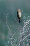 BIR BOB MIS  SK  GMM0001378D  VTFEMALE BOBOLINK PERCHED ON WEEDQUILL LAKES                       07© GARFIELD MACGILLIVRAY  ALL RIGHTS RESERVEDBIRDS;BOBOLINK;FEMALE;PERCHING;PLAINS;PRAIRIES;QUILL_LAKES;SASKATCHEWAN;SCENES;SK_;SUMMER;VTLLONE PINE PHOTO              (306) 683-0889