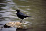 BIR BLA BRE  SK  RLG0000014DBREWER'S BLACKBIRDSASKATOON                           04© ROBERT GREEN                   ALL RIGHTS RESERVEDBIRDS;BLACKBIRDS;BREWERS_BLACKBIRD;MALE;PERCHING;PLAINS;PRAIRIES;SASKATCHEWAN;SASKATOON;SK_;SPRING;WATERLONE PINE PHOTO                 (306) 683-0889