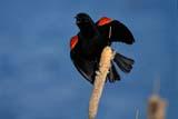 BIR BLA RED  SK   WS11610DMALE RED-WINGED BLACKBIRD ON CATTAILSASKATOON                           06© WAYNE SHIELS                   ALL RIGHTS RESERVEDBIRDS;BLACKBIRDS;CATTAILS;MALE;PERCHING;PLAINS;PRAIRIES;RED_WINGED_BLACKBIRD;SASKATCHEWAN;SASKATOON;SK_;SUMMERLONE PINE PHOTO                 (306) 683-0889
