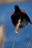 BIR BLA RED  SK   WS11613D  VTMALE RED-WINGED BLACKBIRD ON CATTAILSASKATOON                           06© WAYNE SHIELS                   ALL RIGHTS RESERVEDBIRDS;BLACKBIRDS;CATTAILS;MALE;PERCHING;PLAINS;PRAIRIES;RED_WINGED_BLACKBIRD;SASKATCHEWAN;SASKATOON;SK_;SUMMER;VTLLONE PINE PHOTO                 (306) 683-0889