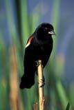 BIR BLA RED  SK   WS11059D  VTMALE RED-WINGED BLACKBIRD IN CATTAILSSASKATOON                           06© WAYNE SHIELS                   ALL RIGHTS RESERVEDBIRDS;BLACKBIRDS;MALE;PERCHING;PLAINS;PRAIRIES;RED_WINGED_BLACKBIRD;SASKATCHEWAN;SASKATOON;SK_;SUMMER;VTLLONE PINE PHOTO                 (306) 683-0889