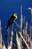 BIR BLA YEL  SK   WS11617D  VTYELLOW-HEADED BLACKBIRD ON CATTAILSASKATOON                          06© WAYNE SHIELS                   ALL RIGHTS RESERVEDBIRDS;BLACKBIRDS;CATTAILS;MALE;MARSHES;PERCHING;PLAINS;PRAIRIES;SASKATCHEWAN;SASKATOON;SK_;SLOUGHS;SUMMER;VTL;YELLOW_HEADED_BLACKBIRDLONE PINE PHOTO                 (306) 683-0889