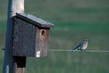 BIR BLU MOU  SK     1004506DMOUNTAIN BLUEBIRD NEAR NESTING BOX(SIALIA CURRUCOIDES)MOON LAKE                            06/07© CLARENCE W. NORRIS          ALL RIGHTS RESERVEDBIRD_HOUSES;BIRD;BIRDS;BLUEBIRDS;BOXES;HOUSES;MOON_LAKE;MOUNTAIN_BLUEBIRD;NESTING;NUMBERS;PERCHING;PLAINS;PRAIRIES;SASKATCHEWAN;SK_;SUMMERLONE PINE PHOTO                 (306) 683-0889