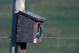 BIR BLU MOU  SK     1004508DMOUNTAIN BLUEBIRD AT NESTING BOX(SIALIA CURRUCOIDES)MOON LAKE                            06/07© CLARENCE W. NORRIS          ALL RIGHTS RESERVEDBIRD_HOUSES;BIRD;BIRDS;BLUEBIRDS;BOXES;HOUSES;MOON_LAKE;MOUNTAIN_BLUEBIRD;NESTING;NUMBERS;PERCHING;PLAINS;PRAIRIES;SASKATCHEWAN;SK_;SUMMERLONE PINE PHOTO                 (306) 683-0889