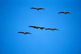 BIR CRA SAN  SK  GMM1000545DSANDHILL CRANES IN FLIGHTQUILL LAKES                       09© GARFIELD MACGILLIVRAY  ALL RIGHTS RESERVEDAUTUMN;BIRDS;CRANES;FLIGHT;FLOCKS;PLAINS;PRAIRIES;QUILL_LAKES;SANDHILL_CRANE;SASKATCHEWAN;SK_LONE PINE PHOTO              (306) 683-0889