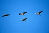 BIR CRA SAN  SK  GMM1000551DSANDHILL CRANES IN FLIGHTQUILL LAKES                       09© GARFIELD MACGILLIVRAY  ALL RIGHTS RESERVEDAUTUMN;BIRDS;CRANES;FLIGHT;PLAINS;PRAIRIES;QUILL_LAKES;SANDHILL_CRANE;SASKATCHEWAN;SK_LONE PINE PHOTO              (306) 683-0889