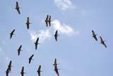 BIR CRA SAN  SK  WDS06H1543DXSANDHILL CRANES IN FLIGHTSASKATOON                       09© WAYNE SHIELS                ALL RIGHTS RESERVEDAUTUMN;BIRDS;CRANES;FLIGHT;MIGRATION;PLAINS;PRAIRIES;SANDHILL_CRANE;SASKATCHEWAN;SASKATOON;SK_;SKYLONE PINE PHOTO              (306) 683-0889