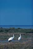 BIR CRA WHO  SK  GMM1000765D  VTWHOOPING CRANES IN MARSHQUILL LAKES                       10© GARFIELD MACGILLIVRAY  ALL RIGHTS RESERVEDAUTUMN;BIRDS;COUPLE;CRANES;MARSHES;PLAINS;PRAIRIES;QUILL_LAKES;SASKATCHEWAN;SK_;VTL;WHOOPING_CRANELONE PINE PHOTO              (306) 683-0889