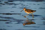 BIR DOW LON  NS  CRS10F1221DXLONG-BILLED DOWITCHERBELLIVEAU'S COVE              08© CLIFF SANDESON             ALL RIGHTS RESERVEDATLANTIC;BELLIVEAUS_COVE;BIRDS;DOWITCHERS;EAST_COAST;LONG_BILLED_DOWITCHER;MARITIMES;NOVA;NOVA_SCOTIA;NS_;REFLECTIONS;SCOTIA;SUMMER;WATERLONE PINE PHOTO              (306) 683-0889