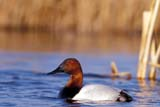 BIR DUC CAN  SK  GMM1000075DMALE CANVASBACK DUCK IN WATERQUILL LAKE                         05© GARFIELD MACGILLIVRAY  ALL RIGHTS RESERVEDBIRDS;CANVASBACK_DUCK;DUCKS;LAKES;MALE;PLAINS;PRAIRIES;QUILL_LAKE;SASKATCHEWAN;SK_;SPRING;WATERLONE PINE PHOTO              (306) 683-0889