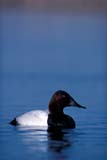 BIR DUC CAN  SK  GMM1000099D   VTMALE CANVASBACK DUCK IN WATERQUILL LAKE                         05© GARFIELD MACGILLIVRAY  ALL RIGHTS RESERVEDBIRDS;CANVASBACK_DUCK;DUCKS;LAKES;MALE;PLAINS;PRAIRIES;QUILL_LAKE;SASKATCHEWAN;SK_;SPRING;VTL;WATERLONE PINE PHOTO              (306) 683-0889