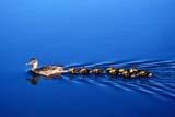 BIR DUC MAL  SK     1904502DMALLARD DUCK AND YOUNG ON LAKEANGLIN LAKE                          06© CLARENCE W. NORRIS          ALL RIGHTS RESERVEDANGLIN_LAKE;BABIES;BIRDS;DUCKLINGS;DUCKS;FEMALE;MALLARD_DUCK;PARKLAND;PLAINS;PRAIRIES;SASKATCHEWAN;SK_;SUMMER;WATERLONE PINE PHOTO                 (306) 683-0889