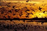 BIR DUC MAL  SK  GMM1000827DMALLARD DUCKS IN FLIGHT AT SUNSETQUILL LAKES                       09© GARFIELD MACGILLIVRAY  ALL RIGHTS RESERVEDAUTUMN;BIRDS;DUCKS;FLIGHT;FLOCKS;LAKES;MALLARD_DUCK;PLAINS;PRAIRIES;QUILL_LAKES;SASKATCHEWAN;SILHOUETTE;SK_;SKY;SUNSET;WATERLONE PINE PHOTO              (306) 683-0889