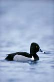 BIR DUC RIN  SK  GMM1000143D  VTMALE RING-NECKED DUCK ON PONDQUILL LAKE                         04© GARFIELD MACGILLIVRAY  ALL RIGHTS RESERVEDBIRDS;DUCKS;MALE;PLAINS;PONDS;PRAIRIES;QUILL_LAKE;RING_NECKED_DUCK;SASKATCHEWAN;SK_;SPRING;VTL;WATERLONE PINE PHOTO              (306) 683-0889