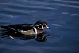 BIR DUC WOO  SK     1203907DWOOD DUCK ON WATER(AIX SPONSA)SASKATOON                           10/11© CLARENCE W. NORRIS          ALL RIGHTS RESERVEDAUTUMN;BIRDS;DUCKS;PLAINS;PRAIRIES;SASKATCHEWAN;SASKATOON;SK_;WATER;WOOD_DUCKLONE PINE PHOTO                 (306) 683-0889