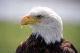 BIR EAG BAL  AB  RLG0000046DBALD EAGLEALBERTA BIRDS OF PREY CENTRECOALDALE                             ..© ROBERT GREEN                   ALL RIGHTS RESERVEDAB_;ALBERTA;ALBERTA_BIRDS_OF_PREY_CENTRE;BALD_EAGLE;BIRDS;COALDALE;CORDILLERA;EAGLESLONE PINE PHOTO                 (306) 683-0889