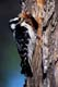 DOWNY WOODPECKER AT NESTING HOLE, WRITING-ON-STONE PROVINCIAL PARK