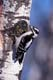 DOWNY WOODPECKER ON ASPEN, LANGHAM
