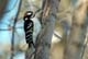 HAIRY WOODPECKER, CODETTE LAKE