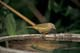 ORANGE-CROWNED WARBLER AT BIRDBATH, SASKATOON