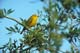 YELLOW WARBLER IN WILLOWS, WRITING-ON-STONE PROVINCIAL PARK