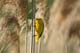 YELLOW WARBLER CARRYING FOOD, DUCKS UNLIMITED POND, ANNAPOLIS ROYAL