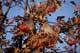 BOHEMIAN WAXWINGS FEEDING IN MOUNTAIN ASH TREE, WARMAN