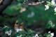 CEDAR WAXWINGS IN APPLE TREE IN SPRING, QUILL LAKE
