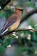 CEDAR WAXWING ON APPLE TREE IN SPRING, QUILL LAKE