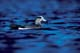 MALE AMERICAN WIGEON ON WATER, QUILL LAKES