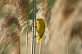 BIR WAR YEL  NS  CRS10E1132DXYELLOW WARBLER CARRYING FOODDUCKS UNLIMITED PONDANNAPOLIS ROYAL              06© CLIFF SANDESON             ALL RIGHTS RESERVEDANNAPOLIS_ROYAL;ATLANTIC;BIRDS;EAST_COAST;FEEDING;DUCKS_UNLIMITED;MARITIMES;NOVA;NOVA_SCOTIA;NS_;RURAL;SCENES;SCOTIA;SUMMER;WARBLERS;YELLOW_WARBLERLONE PINE PHOTO              (306) 683-0889