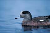BIR WIG AME  SK  GMM0001338DMALE AMERICAN WIGEON ON WATERQUILL LAKES                       05© GARFIELD MACGILLIVRAY ALL RIGHTS RESERVEDAMERICAN_WIGEON;BIRDS;MALE;PLAINS;PRAIRIES;QUILL_LAKES;SASKATCHEWAN;SK_;SPRING;WATER;WIGEONSLONE PINE PHOTO              (306) 683-0889
