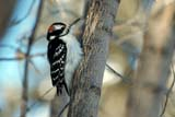 BIR WOO HAI  SK  WDS10A5028DXHAIRY WOODPECKERCODETTE LAKE                       01© WAYNE SHIELS                   ALL RIGHTS RESERVEDCODETTE_LAKE;HAIRY_WOODPECKER;PARKLAND;PLAINS;PRAIRIES;SASKATCHEWAN;SK_;WINTER;WOODPECKERSLONE PINE PHOTO                 (306) 683-0889