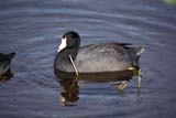 BIR COO ANE  ON  MTT1000042DAMERICAN COOTLAKE ONTARIO                    04/..© MIKE TOBIN                     ALL RIGHTS RESERVEDAMERICAN_COOT;BIRDS;CENTRAL;COOTS;LAKE_ONTARIO;LAKES;ON_;ONTARIO;SPRING;WATERLONE PINE PHOTO              (306) 683-0889