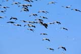 BIR CRA SAN  SK  GMM0001614D  SANDHILL CRANES IN FLIGHTQUILL LAKE                            10/..   © GARFIELD MACGILLIVRAY     ALL RIGHTS RESERVED AUTUMN;BIRDS;CRANES;FLIGHT;FLOCKS;PLAINS;PRAIRIES;QUILL_LAKE;SANDHILL_CRANE;SASKATCHEWAN;SK_LONE PINE PHOTO                 (306) 683-0889