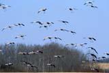 BIR CRA SAN  SK  GMM0001615D  SANDHILL CRANES IN FLIGHTQUILL LAKE                            10/..   © GARFIELD MACGILLIVRAY     ALL RIGHTS RESERVED AUTUMN;BIRDS;CRANES;FARMING;FIELDS;FLIGHT;FLOCKS;PLAINS;PRAIRIES;QUILL_LAKE;SANDHILL_CRANE;SASKATCHEWAN;SK_LONE PINE PHOTO                 (306) 683-0889