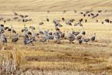 BIR CRA SAN  SK  GMM0001619D SANDHILL CRANES FEEDING IN STUBBLE FIELDQUILL LAKE                            10/..   © GARFIELD MACGILLIVRAY     ALL RIGHTS RESERVED AUTUMN;BIRDS;CRANES;FARMING;FEEDING;FIELDS;FLOCKS;PLAINS;PRAIRIES;QUILL_LAKE;SANDHILL_CRANE;SASKATCHEWAN;SK_;STUBBLE LONE PINE PHOTO                 (306) 683-0889