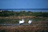 BIR CRA WHO  SK  GMM1000773DWHOOPING CRANES PREENINGQUILL LAKE                         10..© GARFIELD MACGILLIVRAY  ALL RIGHTS RESERVEDAUTUMN;BIRDS;CRANES;ENDANGERED;MARSHES;PREENING;QUILL_LAKE;SASKATCHEWAN;SK_;WATER;WHOOPING_CRANELONE PINE PHOTO               (306) 683-0889