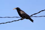 BIR CRO COM  SK  RLG04HB027DXCOMMON CROW ON POWER LINE, FOOD IN MOUTHSASKATOON                          ../..   © ROBERT GREEN                  ALL RIGHTS RESERVEDBIRDS;COMMON_CROW;CROWS;ELECTRICITY;ENERGY;FEEDING;FOOD;POWER_LINES;SASKATCHEWAN;SASKATOON;SCAVENGERS;SK_;SUMMERLONE PINE PHOTO                 (306) 683-0889