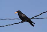 BIR CRO COM  SK  RLG04HB028DXCOMMON CROW ON POWER LINE, FOOD IN MOUTHSASKATOON                          ../..   © ROBERT GREEN                  ALL RIGHTS RESERVEDBIRDS;COMMON_CROW;CROWS;ELECTRICITY;ENERGY;FEEDING;FOOD;POWER_LINES;SASKATCHEWAN;SASKATOON;SCAVENGERS;SK_;SUMMERLONE PINE PHOTO                 (306) 683-0889