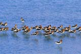 BIR AVO AME  SK  GMM1000605D   FLOCK OF AMERICAN AVOCETS STANDING IN WATERQUILL LAKE                               06/. .© GARFIELD MACGILLIVRAY       ALL RIGHTS RESERVEDALKALINE;AMERICAN_AVOCET;AVOCETS;BIRDS;FLOCKS;QUILL_LAKE;PLAINS;PRAIRIES;SASKATCHEWAN;SK_;SLOUGHS;SPRING;WATERLONE PINE PHOTO                  (306) 683-0889