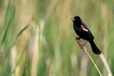 BIR BLA RED  SK  GMM0001630D    RED-WINGED BLACKBIRD (ADULT MALE ON CATTAIL)QUILL LAKE                            06/..   © GARFIELD MACGILLIVRAY     ALL RIGHTS RESERVED BIRDS;BLACKBIRDS;CATTAILS;MALE;PERCHING;PLAINS;PRAIRIES;QUILL_LAKE;RED_WINGED_BLACKBIRD;SASKATCHEWAN;SK_;SUMMERLONE PINE PHOTO                 (306) 683-0889